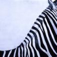 Zebra I